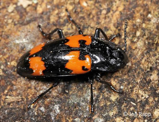 Pleasing Fungus Beetle - Megalodacne heros