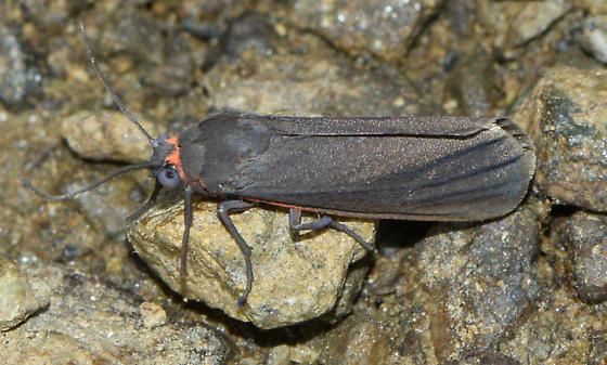 moth052817 - Virbia laeta