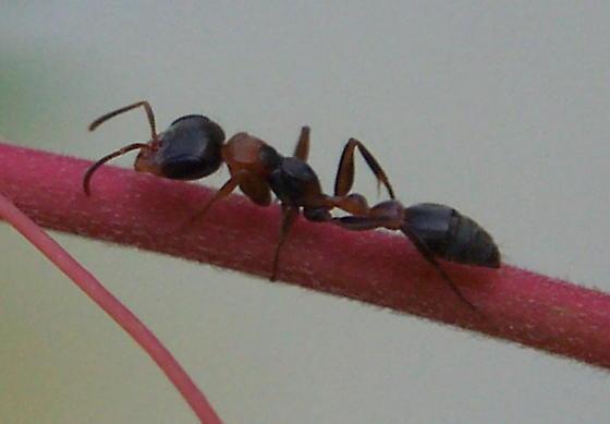 Large ant - Pseudomyrmex gracilis