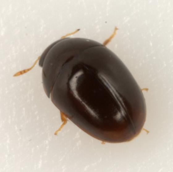 undetermined phalacrid - Acylomus