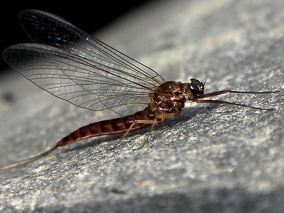Olympian Mayfly - Ameletus