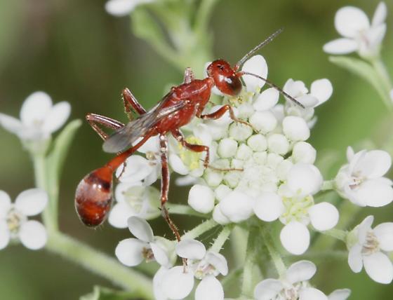 Ammophila wrightii - female