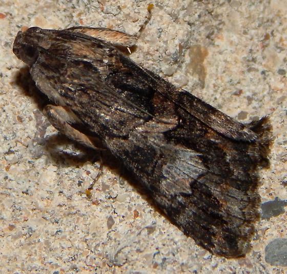Noctuidae? - Melipotis jucunda