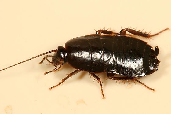 Black Cockroach - Parcoblatta