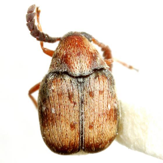 Acanthoscelides pectoralis (Horn) - Acanthoscelides pectoralis
