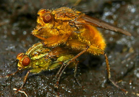 Golden Dung Flies Mating - Scathophaga stercoraria - male - female