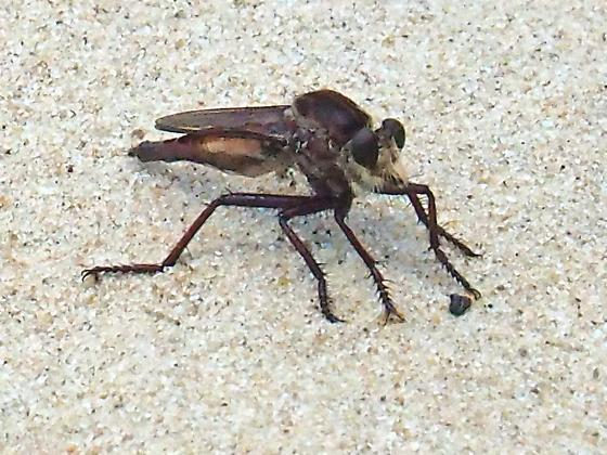 Robber Fly - Proctacanthus rufus - female