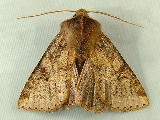 2025 Orthosia praeses - Protector Quaker Moth 10480 - Orthosia praeses