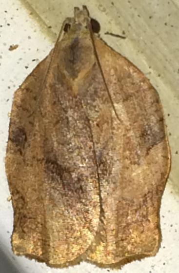 Choristoneura? - Archips purpurana