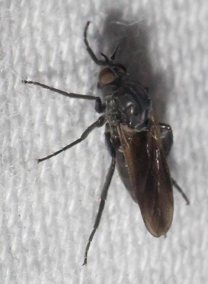 black- and gray-legged fly - Rhamphomyia