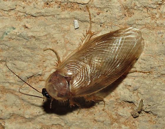 Desert roach - Eremoblatta subdiaphana
