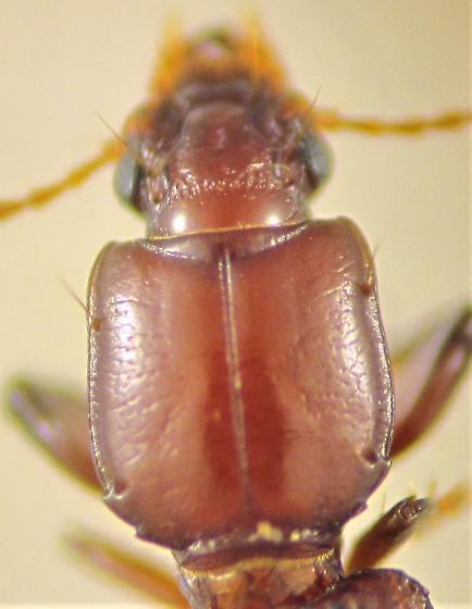 Clivina rubicunda LeConte - Clivina rubicunda - female