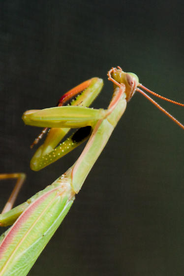 Mantis at my office window - Mantis religiosa - male
