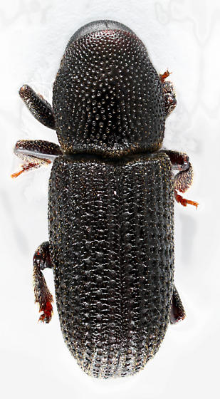 Bark Beetle - Hylastes porculus
