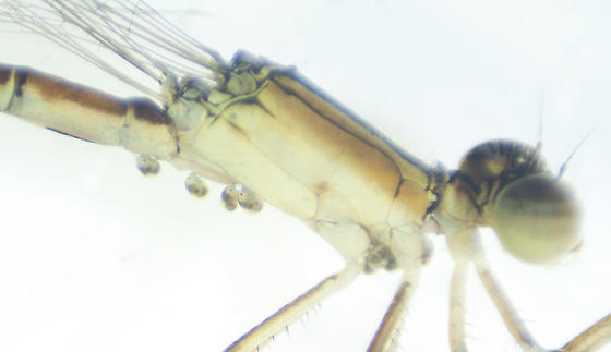 Unknown mite on damselfly - Arrenurus