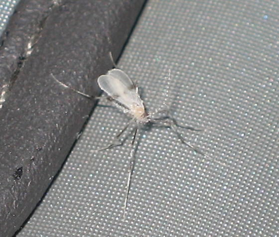 what is this, a mosquito?  - Haplusia