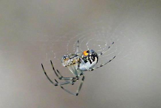 Tiny spider : linyphiidae ? - Leucauge venusta