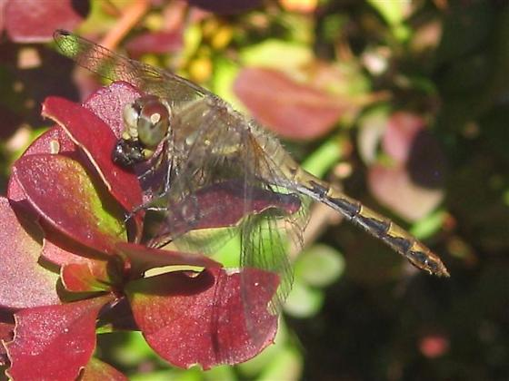 Dragonfly eating fly (for ID) - Sympetrum danae