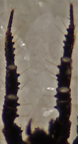 Caeculid Mite