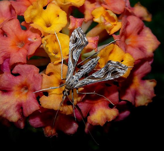Unusual moth - Lineodes integra