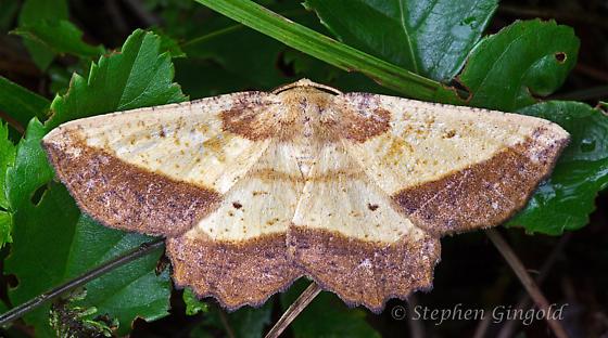 Euchlaena serrata - Saw-wing - Hodges#6724 - Euchlaena serrata
