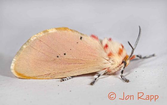 Moth  - Trosia obsolescens - female