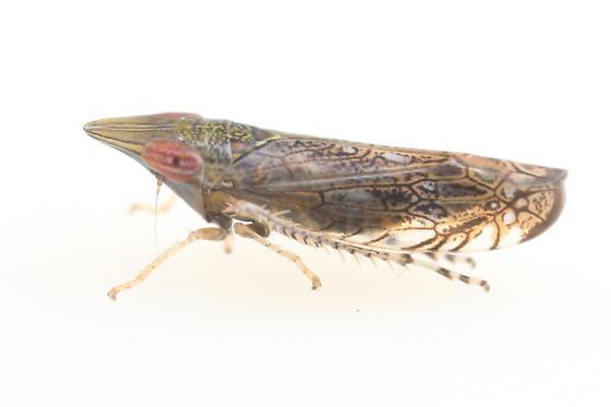 Scaphytopius - Scaphytopius nr-majestus