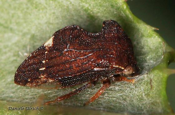 Membracidae - Entylia carinata