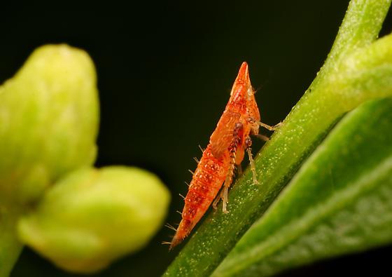 Hopper Nymph ID - Scaphytopius