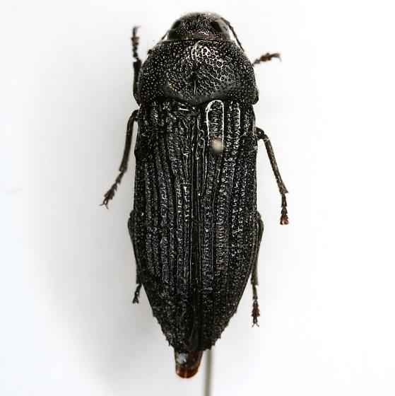 Polycesta arizonica Schaeffer - Polycesta arizonica