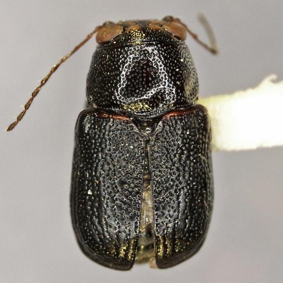 Pachybrachis signatifrons