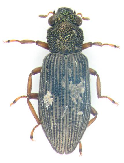 Hydrophilidae, dorsal - Hydrochus