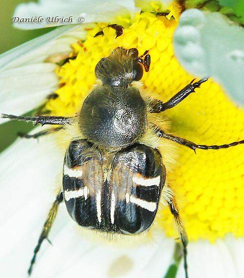 Unknown - Trichiotinus assimilis