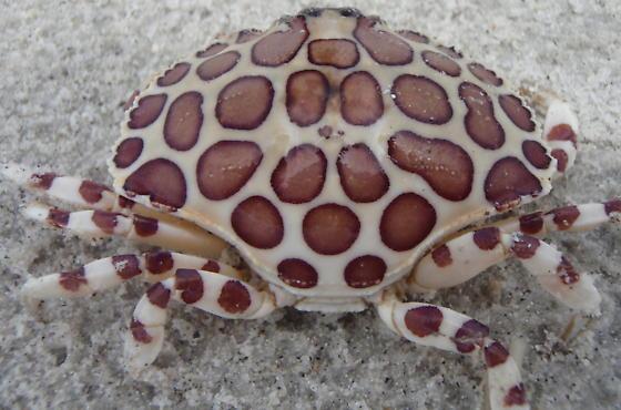 Leopard Crab - Hepatus epheliticus
