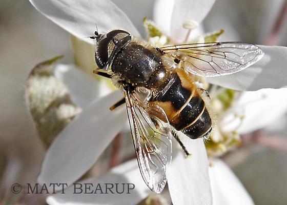 Drone Fly - Eristalis arbustorum