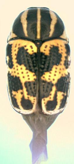 Cryptocephalus bivius