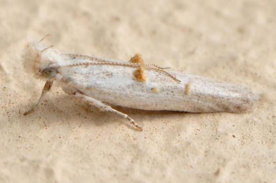 unid tineid moth - Pyramidobela