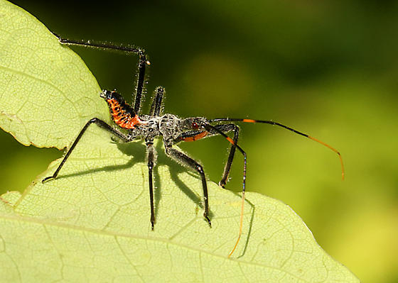 Cool bug - Arilus cristatus