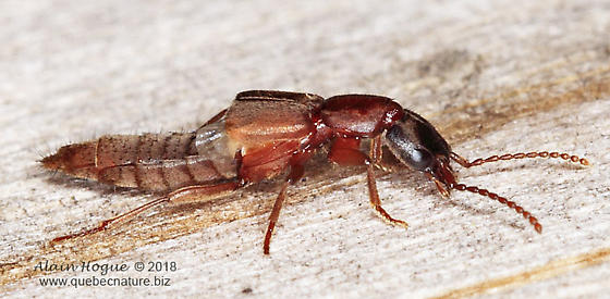 Staphylinoidea ? - Achenomorphus corticinus