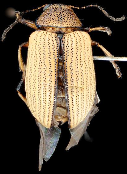Colaspis viridiceps, dorsal - Colaspis viridiceps