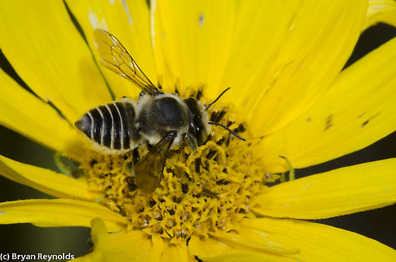 Parallel Leaf-cutter Bee - Megachile parallela