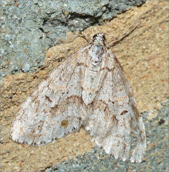 Mottled Gray Carpet Moth - Cladara limitaria