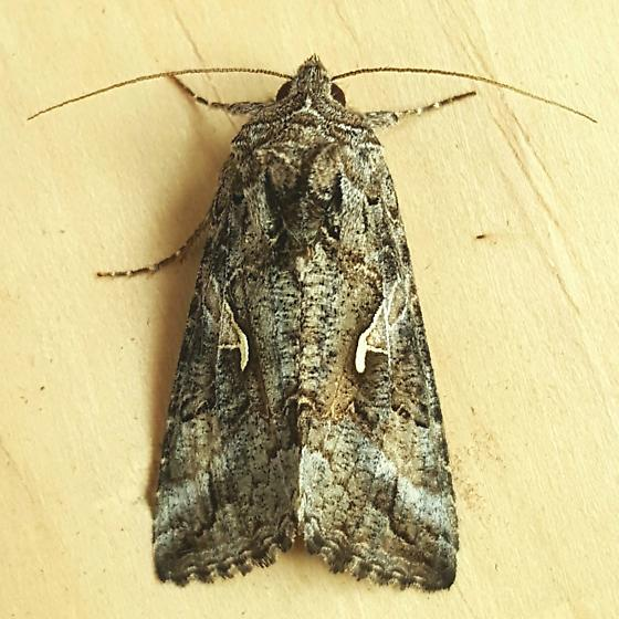 Noctuidae: Autographa californica - Autographa californica