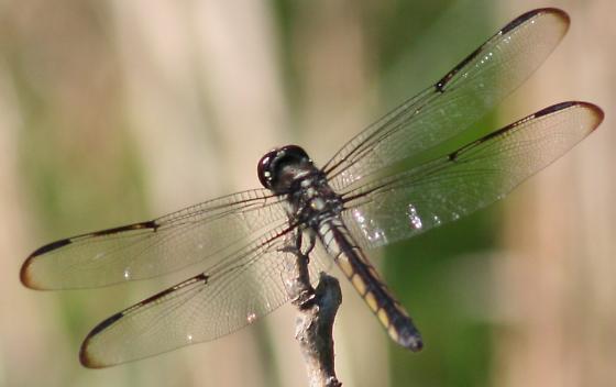 Help with dragonfly ID - Libellula axilena