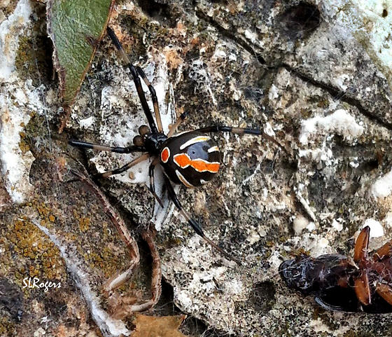 Black Widow - Latrodectus