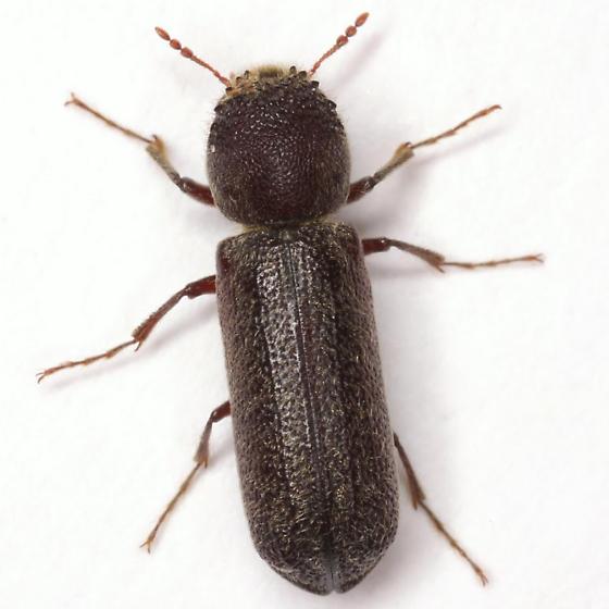 Amphicerus bicaudatus (Say) - Amphicerus bicaudatus