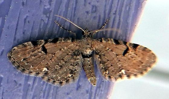 Eupithecia assimilata - Hodges#7554.1 - Eupithecia assimilata - male