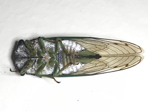 Cicada 1 - Neotibicen tibicen