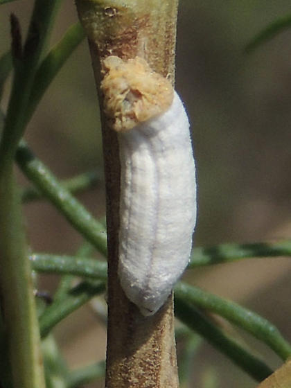 Big Scale Insect on Hymenoclea