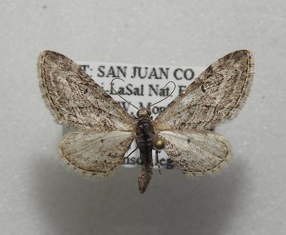 Eupithecia multistrigata - Hodges#7539 - Eupithecia multistrigata - male